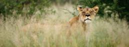 lion peeking