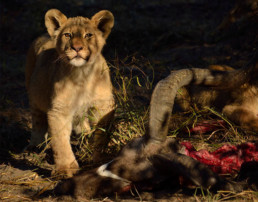 deception valley lion with prey