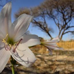 deception valley amaryllis