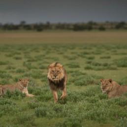 black maned lions