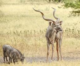 kudu met zwijn